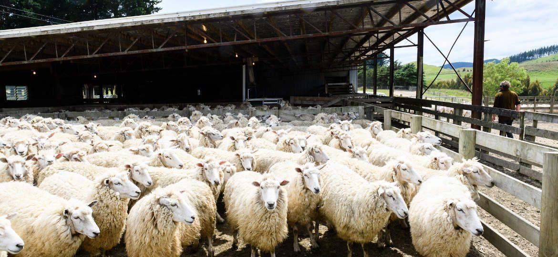 Sheep Ronnie Davis